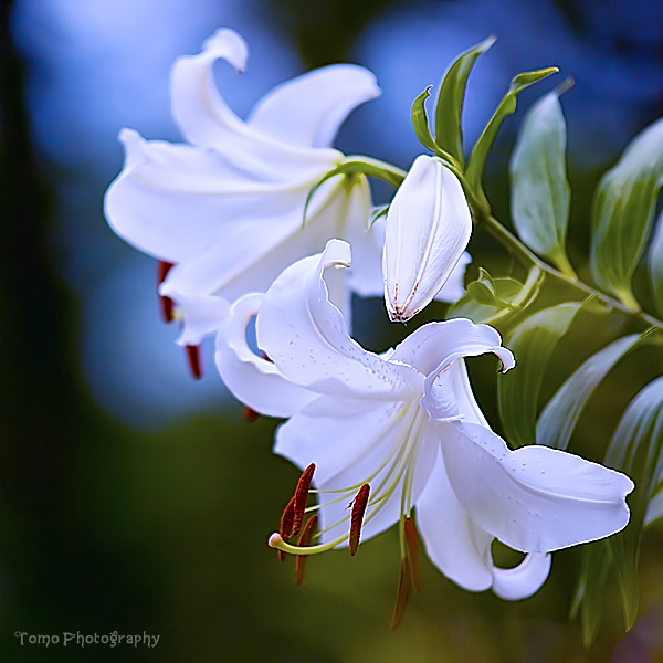 Unduh 93 Gambar Bunga Lily Terbaik Gratis